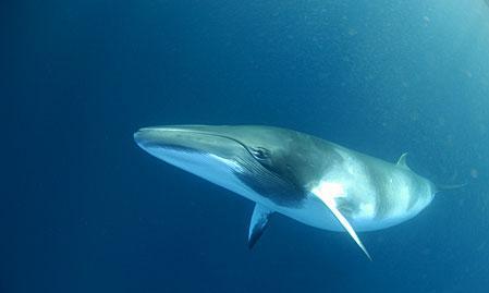 baleia-minke